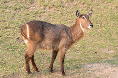Female Common Waterbuck or Ellipsen waterbuck (Kobus ellipsiprymnus) Royalty Free Stock Images