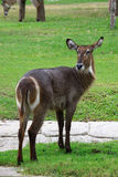 Female Common Waterbuck  Kobus ellipsiprymnus Royalty Free Stock Photo