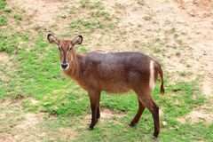 Female common waterbuck Royalty Free Stock Photography