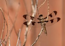 Female Common Whitetail Dragonfly royalty free stock photography