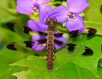Female Common Whitetail Dragonfly (Libellula lydia) Royalty Free Stock Photo