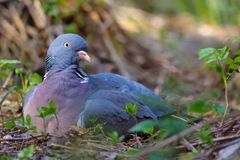 Female Common wood pigeon lay and rests on ground what looks like a hatching with a nest on earth royalty free stock photos