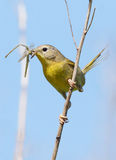 Female Common Yellowthroat = Geothlypis trichas Royalty Free Stock Photo