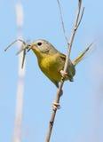 Female Common Yellowthroat = Geothlypis trichas Royalty Free Stock Photo