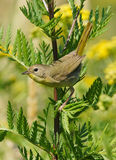 Female Common Yellowthroat Royalty Free Stock Photo