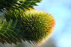Female cone of the Araucaria araucana. (Pehu�n or Monkey-puzzle) tree, an old-growth evergreen growing in Argentina and Chile Stock Photos
