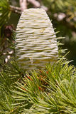 Female cone of himalayan cedar Royalty Free Stock Image