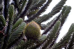 A female cone in a Monkey-puzzle. Araucaria araucana (Pehuén or Monkey-puzzle) is the hardiest species in the conifer genus Araucaria. It is considered as the Stock Photos