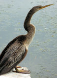 Female cormorant near water. This is a female cormorant bird on the side of the lake Stock Images