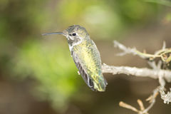 Female Costa's Hummingbird Stock Photo