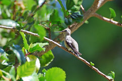 Female Costas Hummingbird resting in Hibiscus bush. Image shows a female Costas Hummingbird (Calypte costae) resting in a Hibiscus bush. The Costas Hummingbird Stock Photos