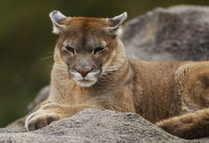 Female Cougar. A majestic mountain lion female laying high on a rocky hill. Lazily taking up the first morning sunlight Stock Images