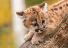 Female Cougar Kitten (Puma concolor) Afraid on Branch Royalty Free Stock Photo