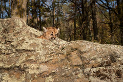 Female Cougar Kitten (Puma concolor) Atop Rocks Stock Image