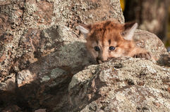 Female Cougar Kitten (Puma concolor) Behind Rock Royalty Free Stock Images