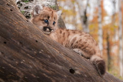 Female Cougar Kitten (Puma concolor) In Branches Royalty Free Stock Photography