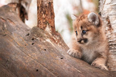 Female Cougar Kitten (Puma concolor) Copy Space Left Royalty Free Stock Photography