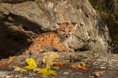 Female Cougar Kitten (Puma concolor) Cries Out from Ledge. Captive animal royalty free stock photography