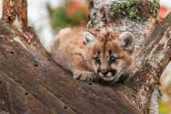 Female Cougar Kitten (Puma concolor) Crouches in Tree Stock Photos