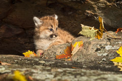 Female Cougar Kitten (Puma concolor) in Den Royalty Free Stock Photo