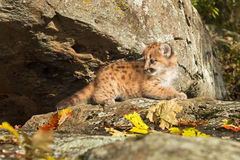 Female Cougar Kitten (Puma concolor) Lies on Rock Ledge Royalty Free Stock Photography