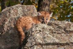 Female Cougar Kitten (Puma concolor) Lies on Rocks stock photos