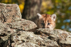 Female Cougar Kitten (Puma concolor) Looks from Behind Rock Royalty Free Stock Photography