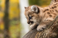 Female Cougar Kitten (Puma concolor) Looks Down Stock Photo
