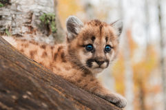 Female Cougar Kitten (Puma concolor) Looks Out Royalty Free Stock Images