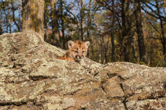 Female Cougar Kitten (Puma concolor) Looks Out. Captive animal royalty free stock images