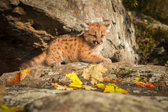 Female Cougar Kitten (Puma concolor) Looks Out from Ledge Royalty Free Stock Image