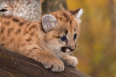 Female Cougar Kitten (Puma concolor) Looks Right Closeup Stock Photos