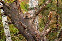 Female Cougar Kitten Puma concolor Nearly Hidden in Tree. Captive animal stock photos