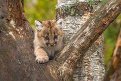 Female Cougar Kitten Puma concolor Paw Out in Tree Stock Photos