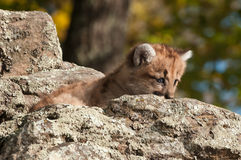 Female Cougar Kitten (Puma concolor) Peeks from Behind Rock Stock Photo