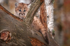 Female Cougar Kitten Puma concolor Peers Out from Tree Stock Image