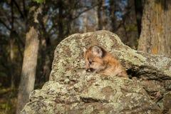 Female Cougar Kitten Puma concolor in Rocks Stock Image