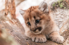 Female Cougar Kitten (Puma concolor) Snuggled in Tree Stock Photography