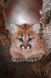 Female Cougar Kitten Puma concolor Stares Out From Tree. Captive animal Royalty Free Stock Images