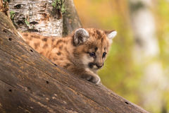 Female Cougar Kitten (Puma concolor) in Tree Royalty Free Stock Images