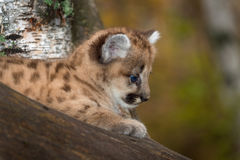Female Cougar Kitten Puma concolor in Tree Profile Stock Photography