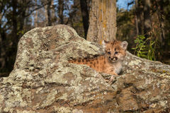 Female Cougar Kitten (Puma concolor) Atop Rocks Royalty Free Stock Image