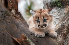 Female Cougar Kitten & x28;Puma concolor& x29; in Crook of Tree Royalty Free Stock Photo