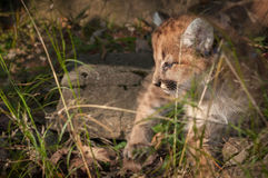 Female Cougar Kitten (Puma concolor) Looks Left in Grass Royalty Free Stock Photography