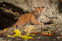 Female Cougar Kitten (Puma concolor) on Rock Ledge Stock Image