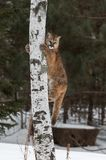 Female Cougar Puma concolor Clings to Tree. Captive animal Stock Images