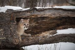 Free Female Cougar Puma Concolor Peeks Head Out Of Hollow Log Winter Stock Photos - 184399903