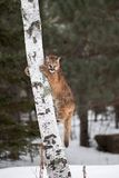 Female Cougar Puma concolor on Tree Trunk Royalty Free Stock Photography
