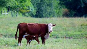 Female Cow with baby cafe feeding Royalty Free Stock Photos