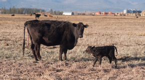 Female Cow Births One Hour Old Calf Ranch Field Stock Photos
